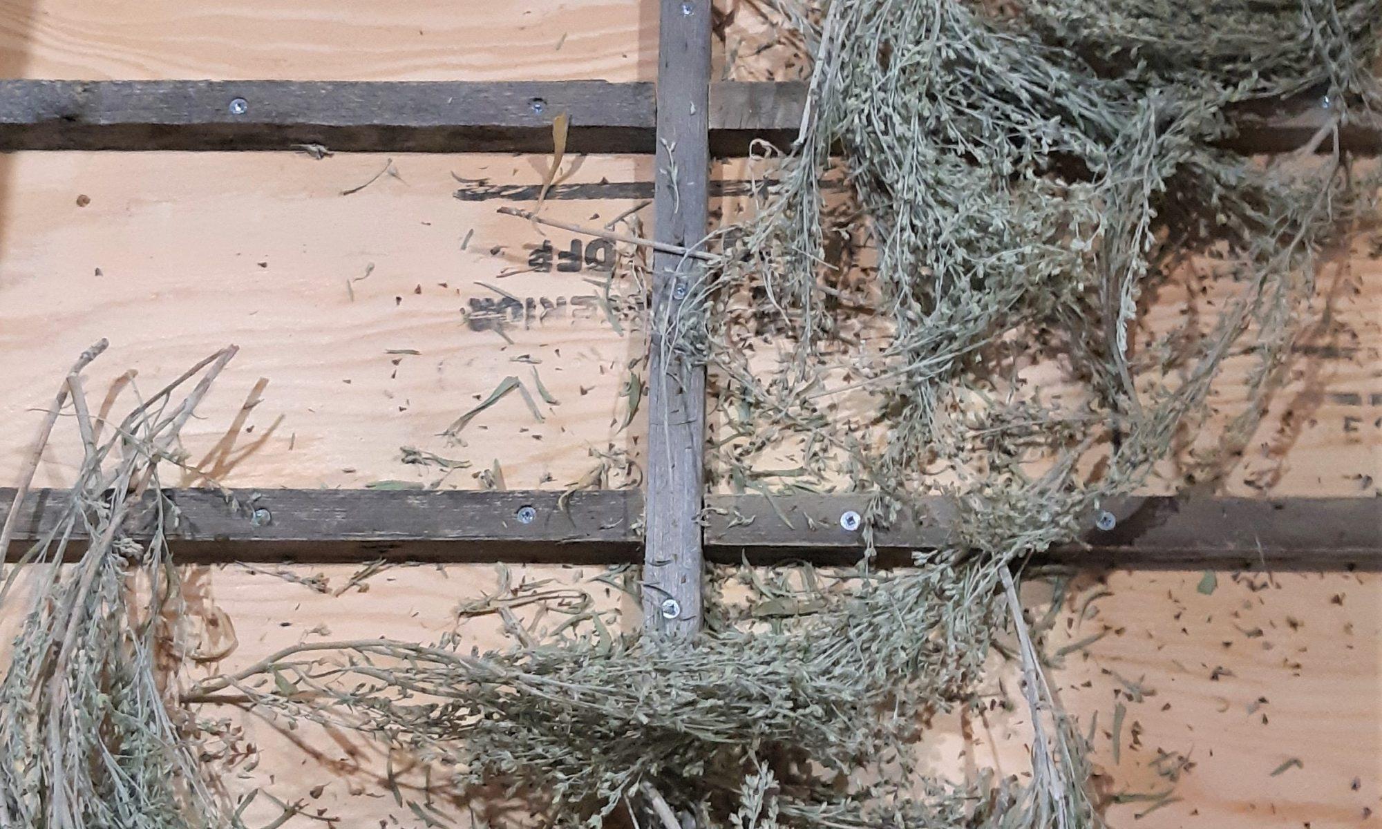 Big Sagebrush, Artemisia tridentata
